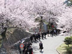 「入学式 高校 桜 画像」の画像検索結果